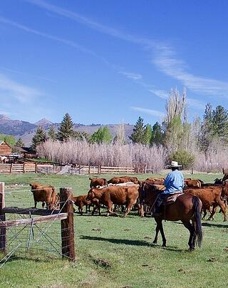 Ann Zollinger helps with spring cattle work